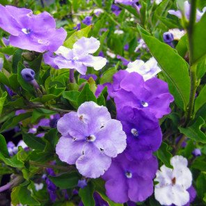 Yesterday Today and Tomorrow - Brunfelsia pauciflora