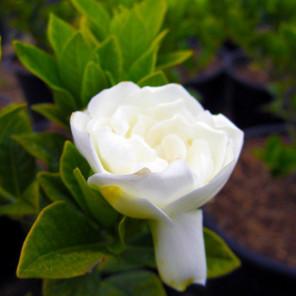Everblooming Gardenia - Gardenia jasminoides Veitchii