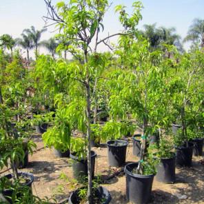 Goldmine Nectarine Tree - Prunus persica nucipersica Goldmine