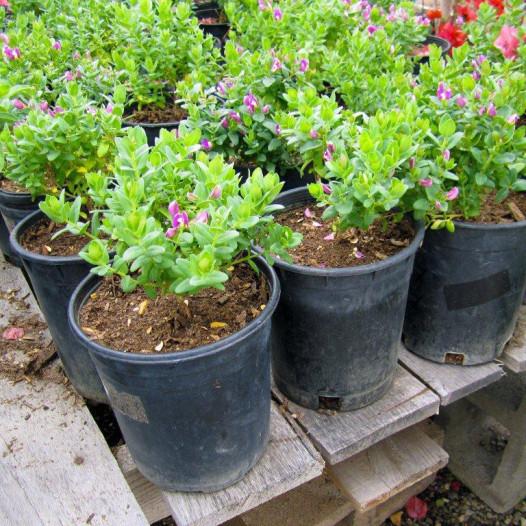 Sweet Pea Bush  - Polygala x dalmaisiana