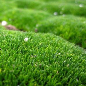 Irish Moss - Sagina subulata