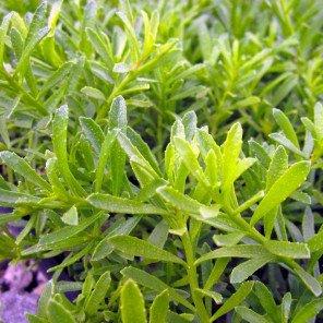 Creeping Myporum - Myoporum parvofolium Puta Creek