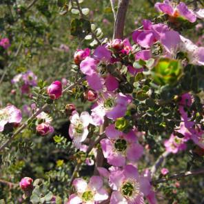 Round Leaf Tea Tree - Leptospermum rotundifolium