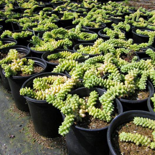 Burrito Sedum (Donkey Tail Plant)(Stonecrop)  - Sedum morganianum Burrito