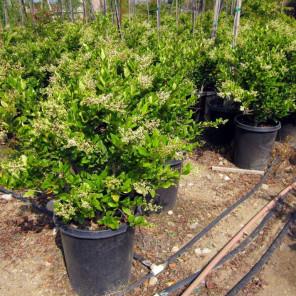 Waxleaf Privet (On Stake) - Ligustrum japonica Texanum