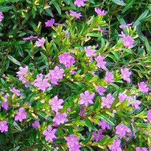 False Heather - Cuphea hyssopifolia