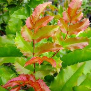 Oregon Grape Holly - Mahonia Aquifolium