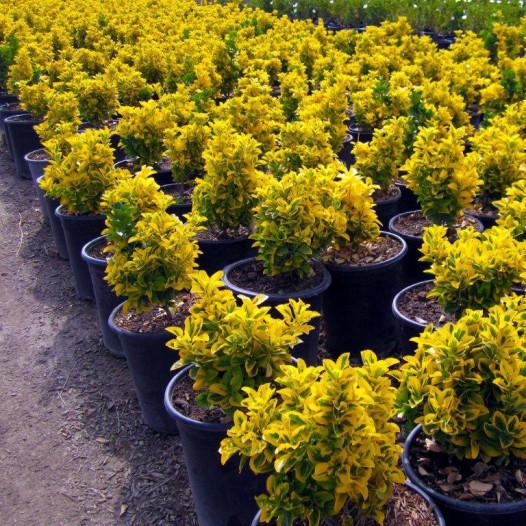 Gold Euonymus  - Euonymus japonicus 'Ovatus Aureus'
