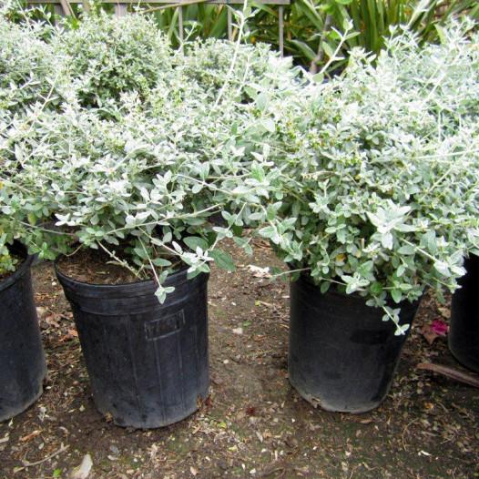 Bush Germander  - Teucrium fruticans 'Azureum'