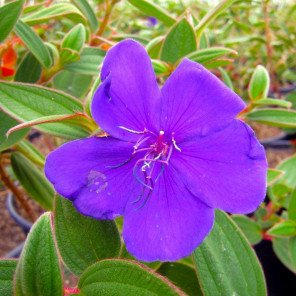 Princess Flower - Tibouchina urvilleana