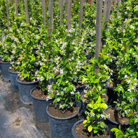 Star Jasmine  - Trachelospermum Jasminoides