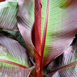 Red Leaf Banana - Ensete ventricosum Maurelii