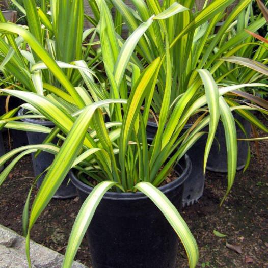 New Zealand Flax  - Phormium Yellow Wave