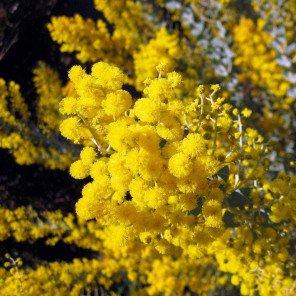 Knifeleaf Acacia - Acacia cultriformis