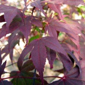 Japanese Maple - Acer palmatum Bloodgood