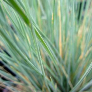 Blue Oat Grass - Helictotrichon Sempervirens