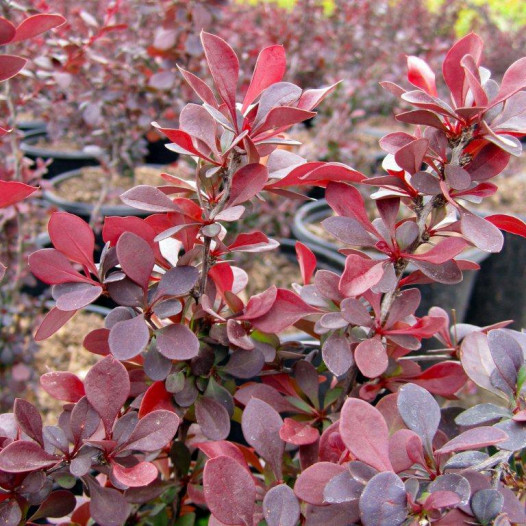 Red Japanese Barberry  - Berberis thunbergii Atropurpurea