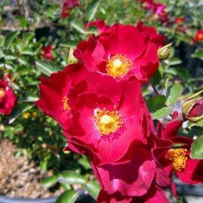 Bergundy Iceberg Rose - Bush Form - Rosa Iceberg