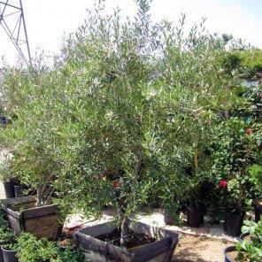 Semi-Fruitless Olive - Multi Trunk - Olea europaea Wilsonii