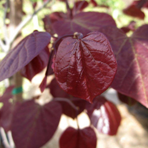 Forest Pansy Redbud (single Trunk) - Cercis occidentalis Forest Pansy