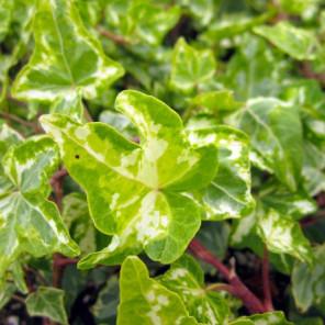 English Ivy Variegated - Hedera helix Variegata