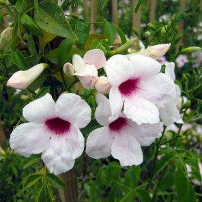 Bower Vine - On Stake - Pandorea jasminoides
