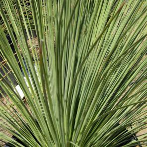 Mexican Grass Tree - Dasylirion Longissimum