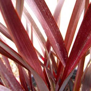 New Zealand Flax - Phormium Amazing Red