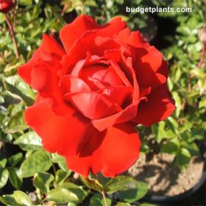 Arizona Hybrid Tea Rose - Bush Form - Rosa Arizona