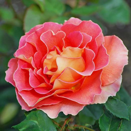 Arizona Hybrid Tea Rose - Tree Form  - Rosa Arizona