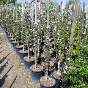 White Potato Vine - Solanum jasminoides