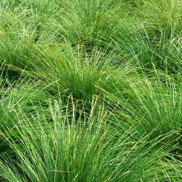 Dwarf Mat Rush (Lomandra longifolia 'Breeze')