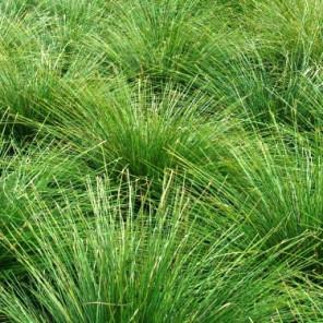 Dwarf Mat Rush - Lomandra longifolia 'Breeze'