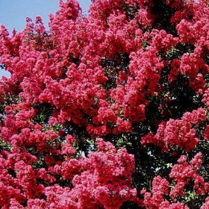 Tuscarora Crape Myrtle - Standard Trunk - Lagerstroemia Tuscarora