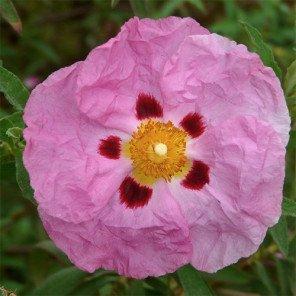 Purple Rock Rose - Cistus x Purpureus