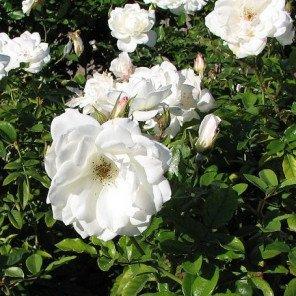 White Iceberg Rose - Bush Form - Rosa Iceberg