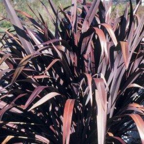 New Zealand Flax - Phormium Bronze