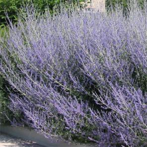 Russian Sage - Perovskia Atriplicifolia 'Blue Spirs'