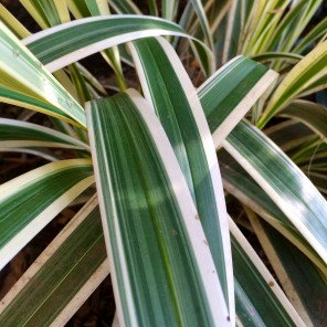 Variegated Flax Lily - Dianella tasmanica 'Variegata'