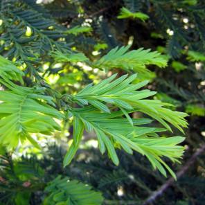 Coast Redwood - Sequoia sempervirens