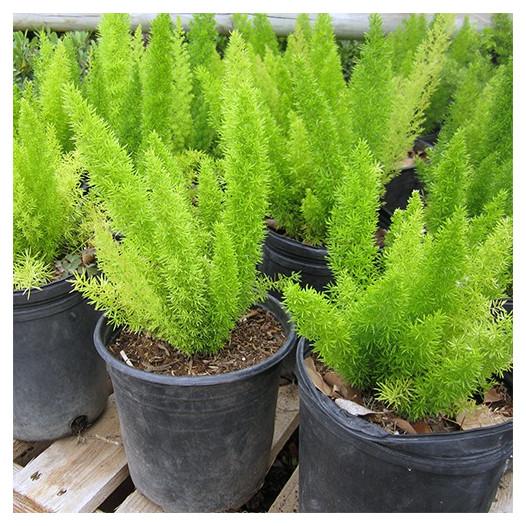 Myers Fern (Fox Tail Fern)  - Asparagus densiflorus Myers