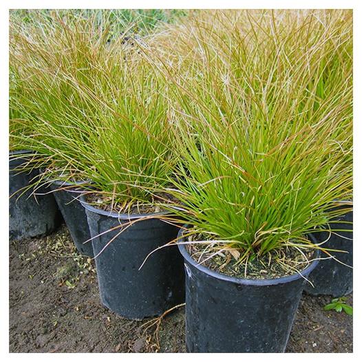 Orange Sedge  - Carex testacea