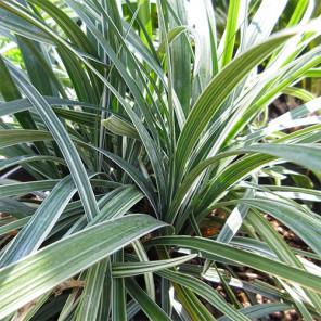 Silver Dragon Lilyturf - Liriope spicata 'Silver Dragon'