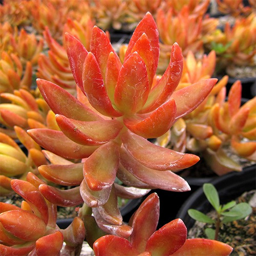 Coppertone Sedum