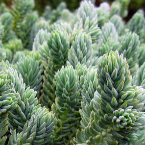 Blue Spruce Stonecrop - Sedum reflexum 'Blue Spruce'