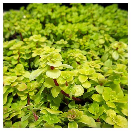Limelight Japanese Stonecrop  - Sedum makinoi 'Limelight'