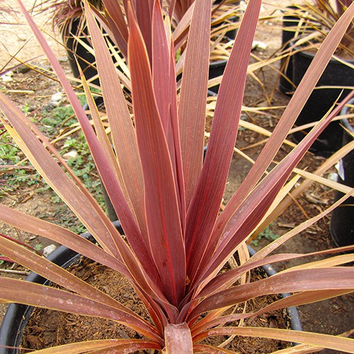 Red Grass Palm