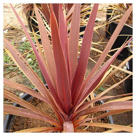 Red Grass Palm  - Cordyline australis 'Dark Star'