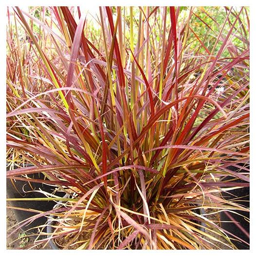 Red Fountain Grass  - Pennisetum setaceum 'Rubrum'