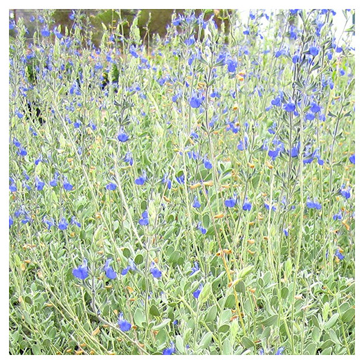 Germander Sage  - Salvia chamaedryoides